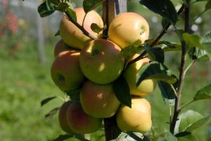 Apfelbaum 'Opal'