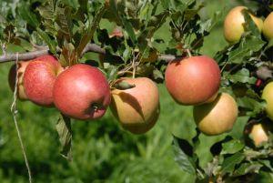 Apfel 'Galiwa'