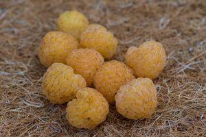 Herbsthimbeere 'Hauenstein's Gelbe'