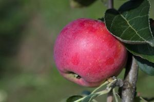 Apfelbaum 'Julia'