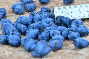 Frühbeere 'Myberry Sweet'