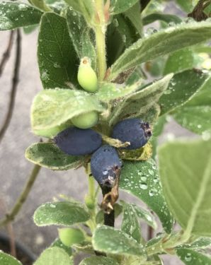 Frühbeere 'Blue Velvet'