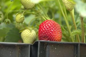 Erdbeere 'Berneck 1'