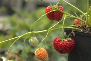 Erdbeere 'Hängeerdbeere'