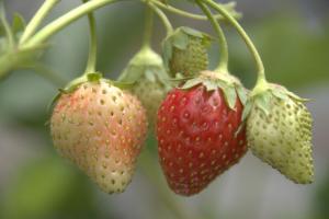 Erdbeere 'Rämisgumen'