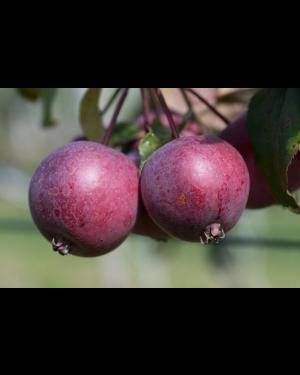 Apfelbaum 'Pixi Rosso'