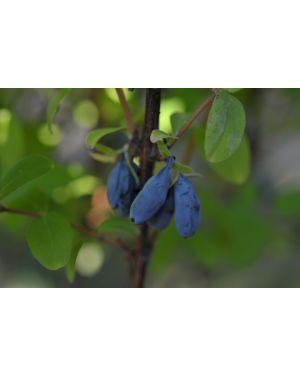 Frühbeere 'Myberry Bee'