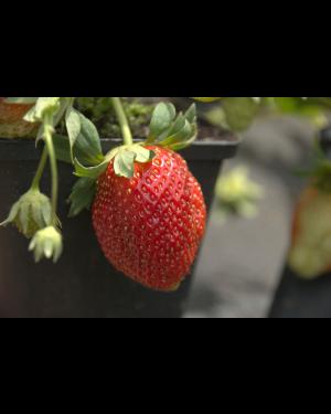 Erdbeere 'Simida'