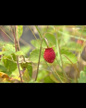 Erdbeere 'Rote Monatserdbeere'