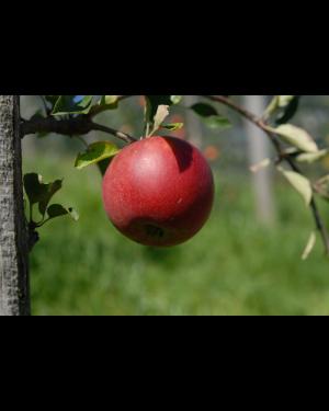 Apfelbaum 'Rajka'