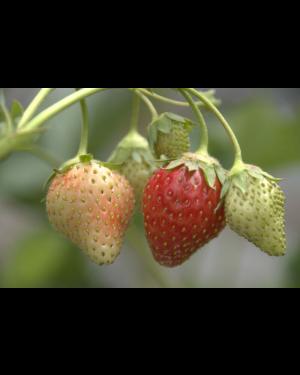 Erdbeere 'Petrino'